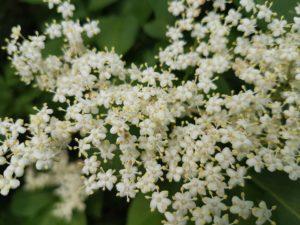 Elderflower to make spirits and mashes