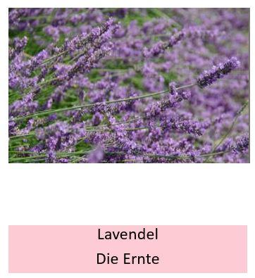 Wie wird Lavendel richtig geerntet?