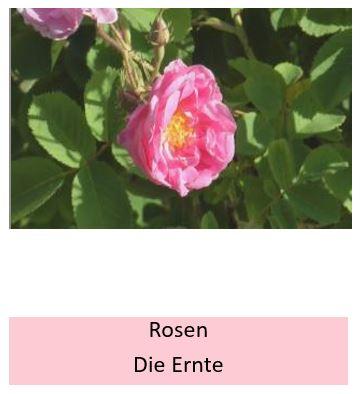 Wie werden Rosen richtig geerntet?