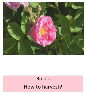 How to harvest roses?